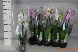 Phalaenopsis mix14 bl.,2 tak/plnt x10
