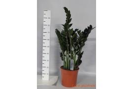 Zamioculcas zamiifolia super nova8 tak x1