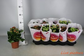 Kalanchoe calandiva mix twinkly 2/2/2/2/2P12 MAX. 1 GEEL, 1 WIT TWINKLY x10