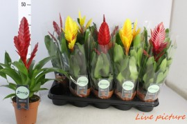 Vriesea mixVRIESEA MIX 50% ROOD - HOES x10