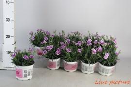Dianthus pink kisses x10