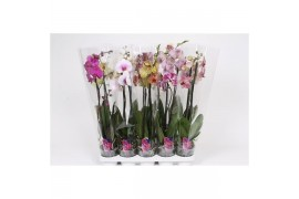 Phalaenopsis mix basic2 tak 12+ 60cm x12