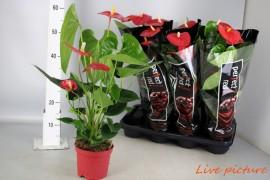 Anthurium andr. turenza3 bloem / zwarte hoes x7