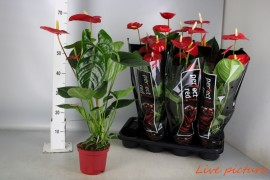 Anthurium andr. turenza4/6 bl. perfect red x7