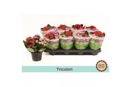 Kalanchoe rosalina tricolori A1