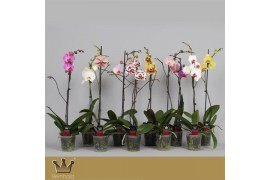 Phalaenopsis misto 1 ramo 9+ 70cm