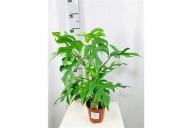Philodendron minima Con bastone