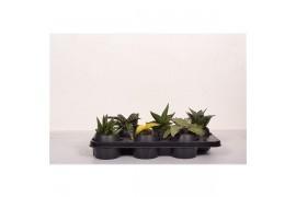Sansevieria cylindrica misto nero ceramica misto