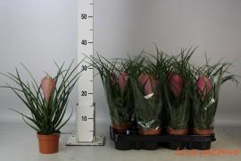 Tillandsia cyanea anita1 bl.