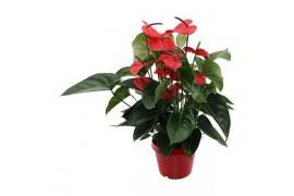 Anthurium andr. bugatti veyron karma dark red