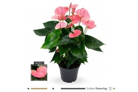 Anthurium andr. karma sweetdream pink