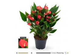 Anthurium andr. karma million flower red