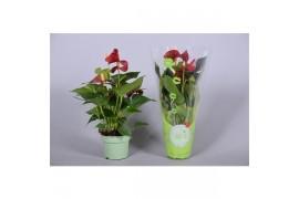 Anthurium andr. piccolo morelips