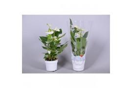 Anthurium andr. namora morelips