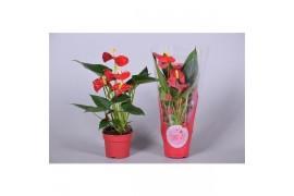 Anthurium andr. sintra morelips