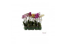 Phalaenopsis misto 2 ramo 10+ 45cm