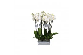 Phalaenopsis white world 3 ramo 18+ 70cm