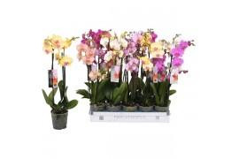 Phalaenopsis misto 8 colori 3 ramo 18+ 60cm ongelijke taklengte