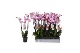 Phalaenopsis rosa 3 ramo 18+ 65cm