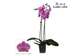 Phalaenopsis san fransisco 2 ramo 20+ 70cm
