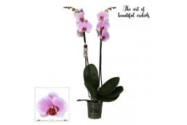Phalaenopsis romance 2 ramo 18+ 70cm