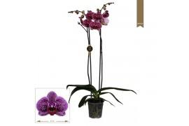 Phalaenopsis jaguar 2 ramo 18+ 70cm