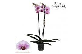 Phalaenopsis dallas 2 ramo 18+ 70cm