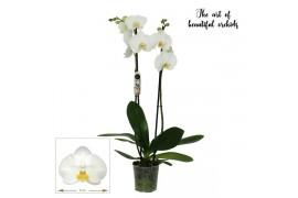 Phalaenopsis bristol 2 ramo 18+ 60cm