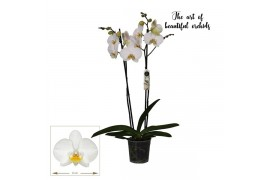 Phalaenopsis london 2 ramo 18+ 70cm