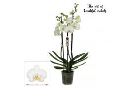 Phalaenopsis dover 3 ramo 18+ 55cm