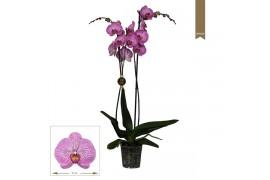 Phalaenopsis budapest 2 ramo 18+ 75cm