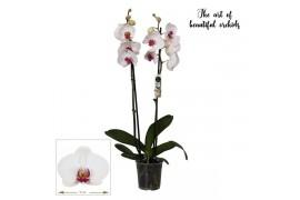 Phalaenopsis sweet kiss 2 ramo 18+ 70cm