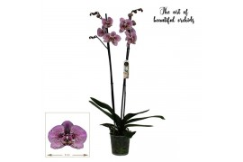 Phalaenopsis anthura andorra 2 ramo 20+ 70cm