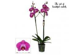 Phalaenopsis sangria