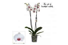 Phalaenopsis red kiss