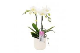 Phalaenopsis multiflora mymorno blondy 2 ramo 13+ 45cm in bianco ceramica