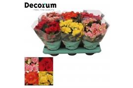 Begonia elatior du. misto decorum 5 colori