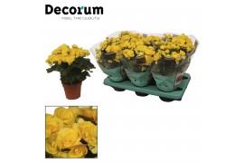 Begonia elatior du. rebecca giallo decorum