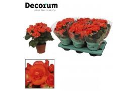 Begonia elatior du. reina oranje decorum