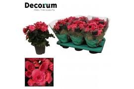 Begonia elatior du. berseba viola decorum