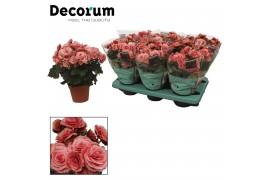 Begonia elatior du. borias rose gevlamd decorum