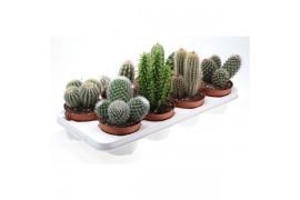 Cactus misto 164