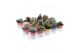 Cactus misto 629 in mexico Vaso