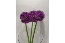 Allium Giganteum STELI