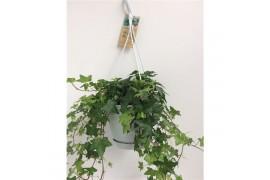 Hedera helix verde basic in bianco vaso appeso