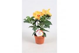 Hibiscus rosa-sinensis sunny kyoto yellow