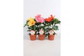 Hibiscus rosa-sinensis sunny misto