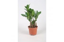 Zamioculcas zamiifolia 4+