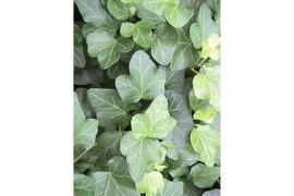 Hedera helix verde moederplant