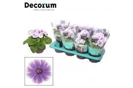 Primula obconica touch me blauw/wit decorum